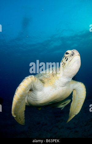 Grüne Meeresschildkröte, Chelonia Mydas, im seichten Wasser schwimmen. - Stockfoto