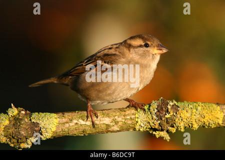 Haussperling weibliche Passer Domesticus thront auf Flechten bedeckt Zweig - Stockfoto