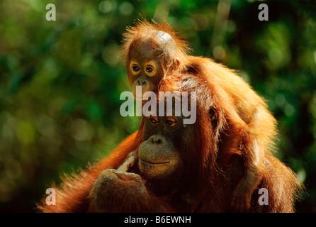 BORNEAN ORANGUTAN Pongo Pygmaeus Mutter mit Baby, Tanjung Puting Nationalpark, Borneo - Stockfoto