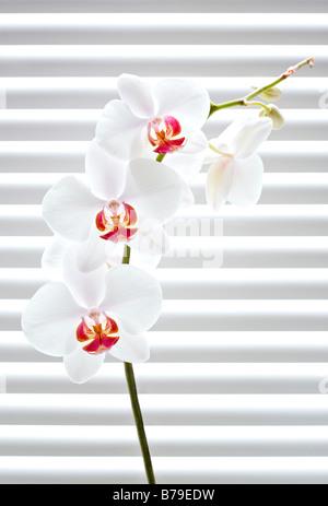 Phalaenopsis Orchideen vor Jalousien - Stockfoto
