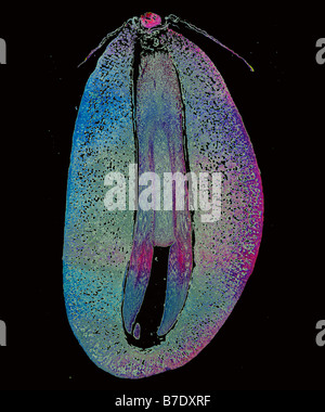 Mikro Schorf eines Embryos Kiefer - Stockfoto