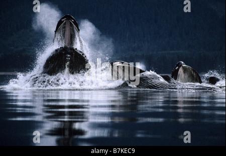 Buckelwale Bubblenet Fütterung, Tenakee Inlet, Südosten. Alaska - Stockfoto