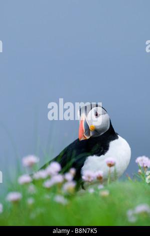 Papageitaucher Fratercula Arctica Sumburgh Head Shetland Juni - Stockfoto