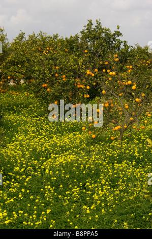 spanischen orangen orange waldungen citrus frucht b ume in. Black Bedroom Furniture Sets. Home Design Ideas