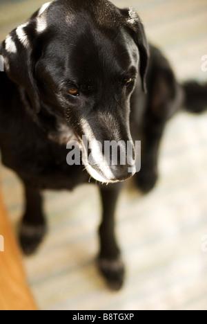 schwarzer Labrador sitzend - Stockfoto