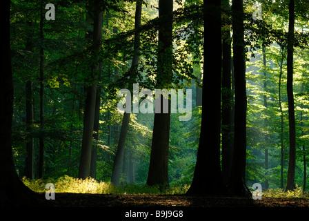 Lichtstrahl durchbricht Baldachin aus Blättern, morgen Stimmung in Buchenwald, Projensdorfer Gehoelz, Kiel, Schleswig - Stockfoto
