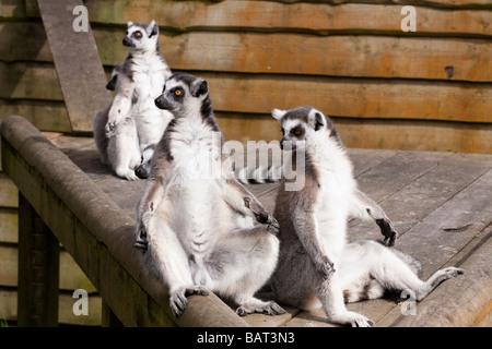 Ring Tailed Lemuren, Blair Drummond Safari Park, Stirling, Schottland - Stockfoto