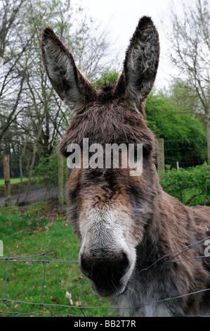 Porträt Nahaufnahme von einem Esel Esel Kopf Gesicht schaut in die Kamera schauen neugierig beobachten neugierige - Stockfoto