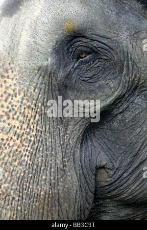 Enge, von Auge und Stamm der indischen Elefant Elephas Maximus Indicus genommen In Nagarhole National Park, Bundesstaat - Stockfoto