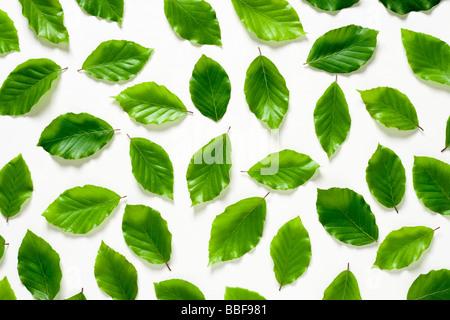 Buche-Blätter. Fagus Sylvatica. UK - Stockfoto