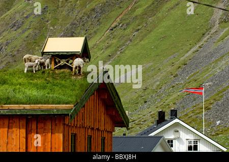 Schafe auf dem Dach Lofoten Inseln Norwegens. - Stockfoto