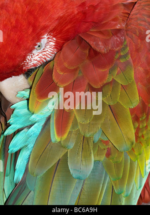 Rote und Grüne Aras (Ara Chloroptera) Schlafsack, Detail der Federn - Stockfoto