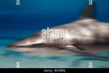 Bronze Whaler Hai - Stockfoto