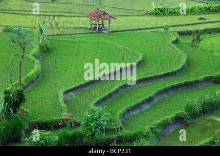 die terrassenförmig angelegten Reis Felder, in der Nähe von Tirtagangga, Bali, Indonesien - Stockfoto