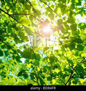 Sonne glitzerte durch Buche Blätter im Frühling. (Fagus Sylvatica) - Stockfoto