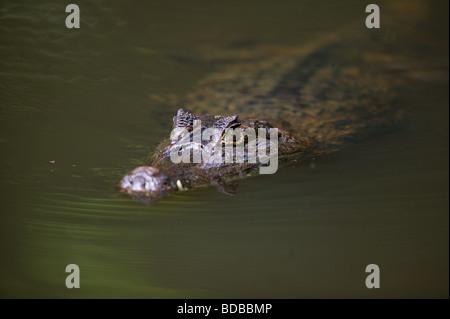 Spectacled Cayman, Caiman crocodilus, in einem See in den Regenwald auf der Isla Bastimentos Nationalpark, Provinz - Stockfoto