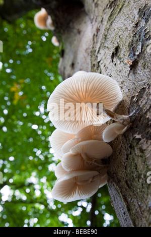 wei e pilze wachsen auf einem baumstumpf zweig im nebelwald auf santa cruz stockfoto bild. Black Bedroom Furniture Sets. Home Design Ideas