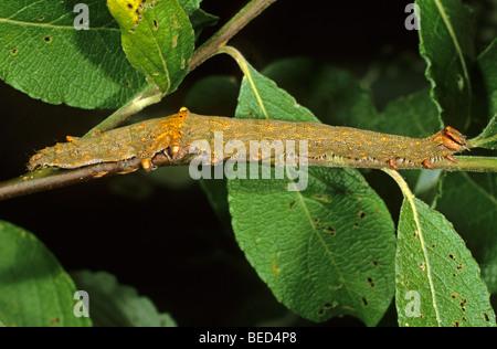 Rosig Underwing Moth (Catocala Electa) Raupe auf einem Ast von einer Ziege Weide Fütterung - Stockfoto