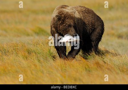 Stock Foto von einen Alaskan Braunbär zu Fuß durch eine goldene Segge Wiese mit einem silbernen Lachs. - Stockfoto