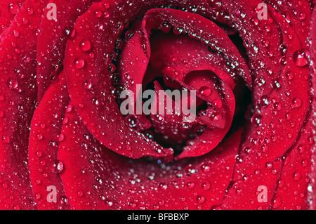 Rosenblüte bedeckt Wasser Tropfen closeup - Stockfoto