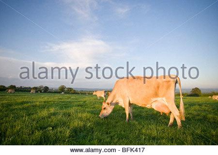 Jersey Kühe im ländlichen Bereich - Stockfoto