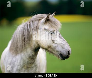 Islandpferd - Porträt - Stockfoto