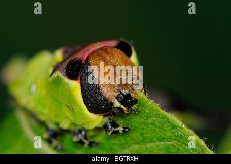 Puss Moth (Cerura Vinula) Nahaufnahme von Caterpillar Fütterung auf Ziege Weiden, zeigt Mundwerkzeuge, Oxfordshire, - Stockfoto