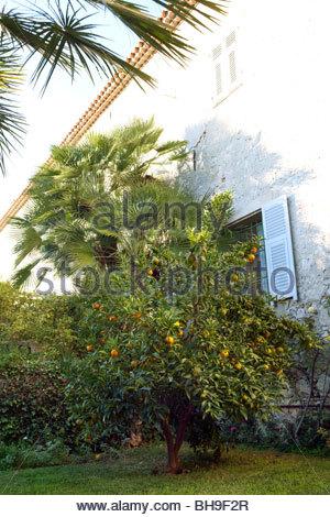 Orangenbaum (Citrus), orange Frucht, Monastere de Cimiez, Nizza, Frankreich - Stockfoto
