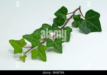 Gemeinsamen Ivy, Englisch Efeu (Hedera Helix), Zweig, Studio Bild. - Stockfoto