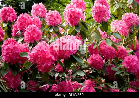 rhododendron bush mit rosa blumen mit gr nem gras im vordergrund stockfoto bild 105125553 alamy. Black Bedroom Furniture Sets. Home Design Ideas