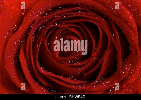 Nahaufnahme Makro Dew Wassertropfen auf eine rote Rose Blume - Stockfoto