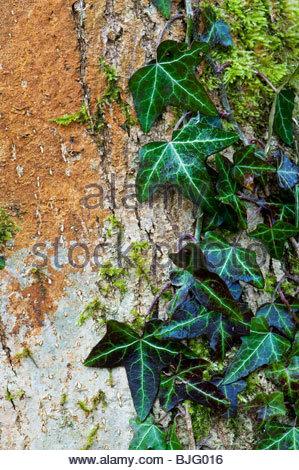 Hedera Helix, gemeinsame Efeu wächst auf einem Baum in der englischen Landschaft - Stockfoto