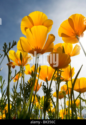 An der Unterseite des mexikanischen orange Mohn nachschlagen. - Stockfoto