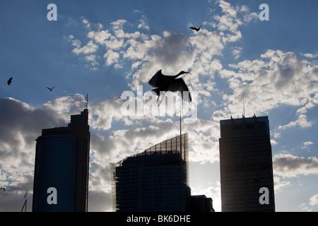 Flughunde und ein Australian White Ibis fliegen vor Sydney City centre Hochhäusern, Australien. - Stockfoto