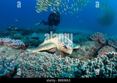 Meeresschildkröte, Schule der französische Grunzen und Taucher, Süd Afrika, Indischer Ozean - Stockfoto