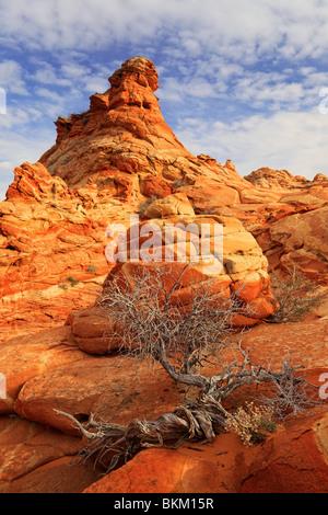 Toten Wacholder kontrastiert eine Sandsteinmauer im Vermilion Cliffs National Monument, Arizona - Stockfoto