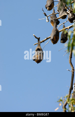 Grey-headed Flughund Pteropus Poliocephalus Botanical Gardens Sydney Australia - Stockfoto