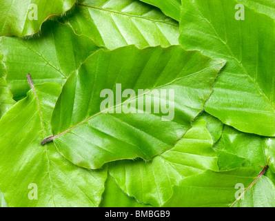 Blätter der Buche, Fagus Sylvatica. - Stockfoto