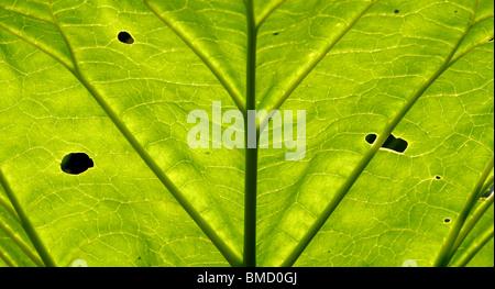 Rhabarber-Blätter. - Stockfoto
