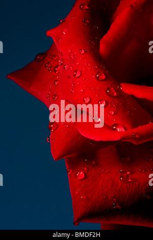 Wassertropfen auf rote Rose mit blauem Hintergrund. - Stockfoto