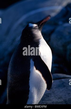 Gentoo Penguin schütteln Kopf, Peterman Island, Antarktis - Stockfoto
