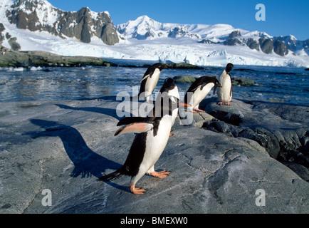 Gentoo Penguins, Peterman Island, Antarktis - Stockfoto