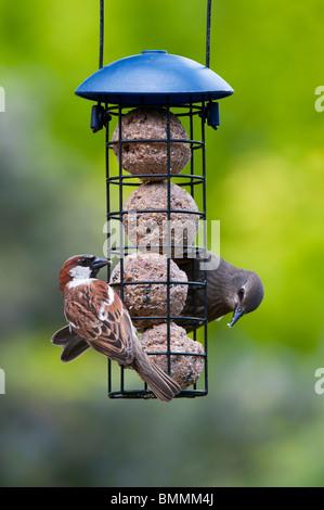 Sturnus Vulgaris und Passer Domesticus. Juvenile Starling und ernähren sich von Talg Kugel Zubringer Haussperling - Stockfoto