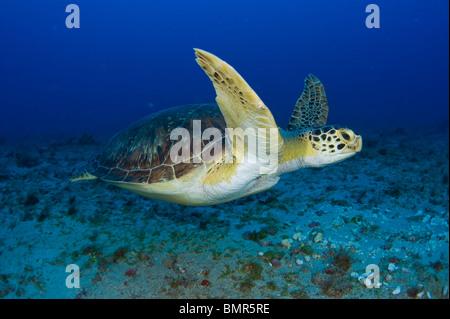 Weibliche grüne Meeresschildkröte (Chelonia Mydas) ernähren sich von Algen unter Wasser in Juno Beach, FL. - Stockfoto