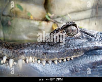 Brillentragende Caiman (Caïman Crocodilus) - Stockfoto