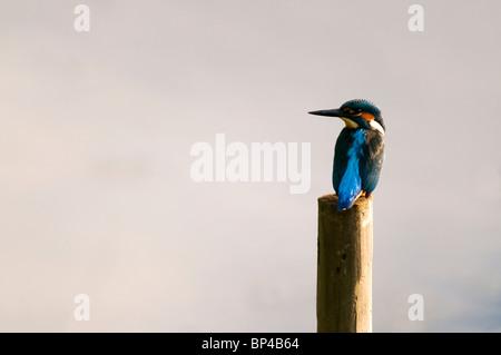 Eisvogel (Alcedo Atthis) - Stockfoto