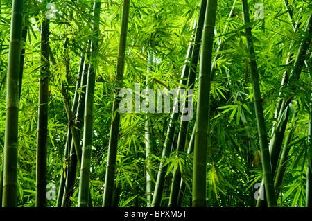 Landschaft der Bambus im tropischen Regenwald, Malaysia - Stockfoto