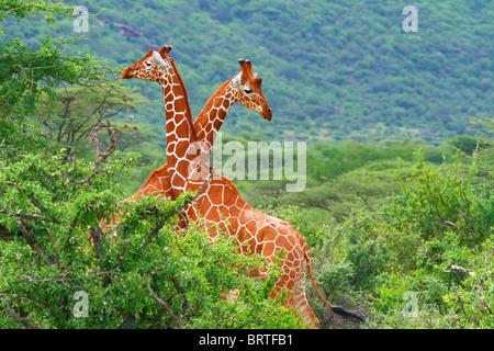 Kampf der zwei Giraffen. Afrika. Kenia. Samburu Nationalpark. - Stockfoto
