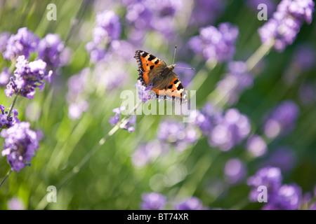 Lavendel ähnliche pflanze