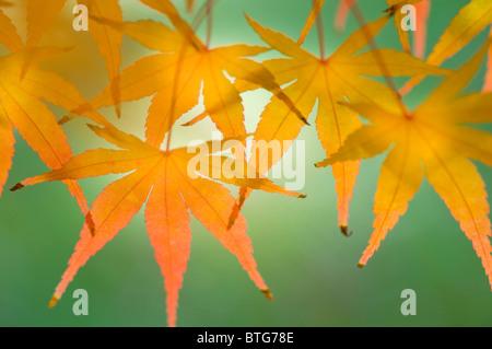 acer bl tter im herbst stockfoto bild 15163386 alamy. Black Bedroom Furniture Sets. Home Design Ideas